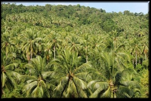 coconut-plantation