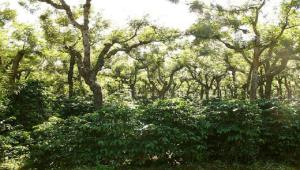 Lattitude Six only buys coffee grown under indigenous shade trees